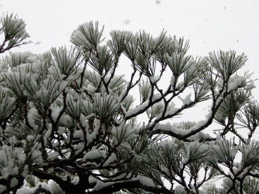 松葉が雪を受ける