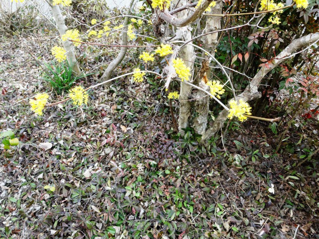春まだ浅い時に咲く山茱萸の花