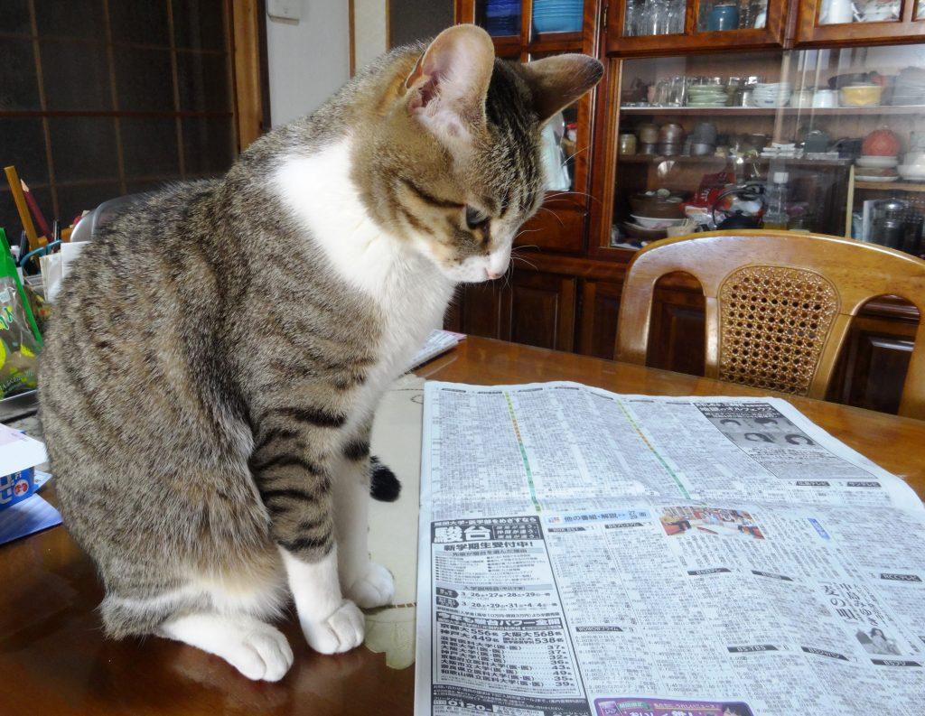ねこ、新聞を見つめる