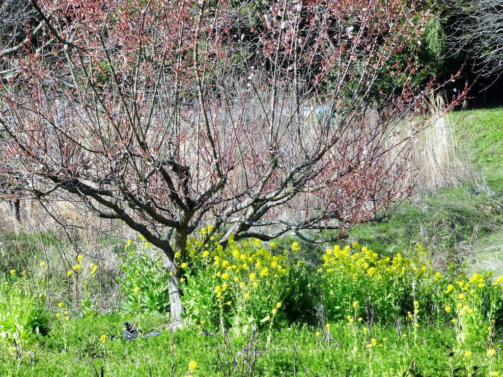 梅が散り、菜の花が咲く