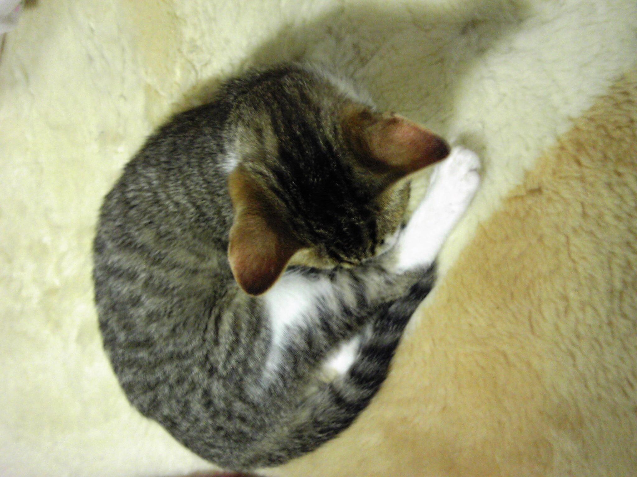 こねこ、風太 寝る