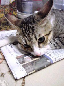 ねこ、風太 新聞の上で聞き耳