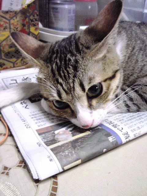 ねこ、新聞の上で聞き耳