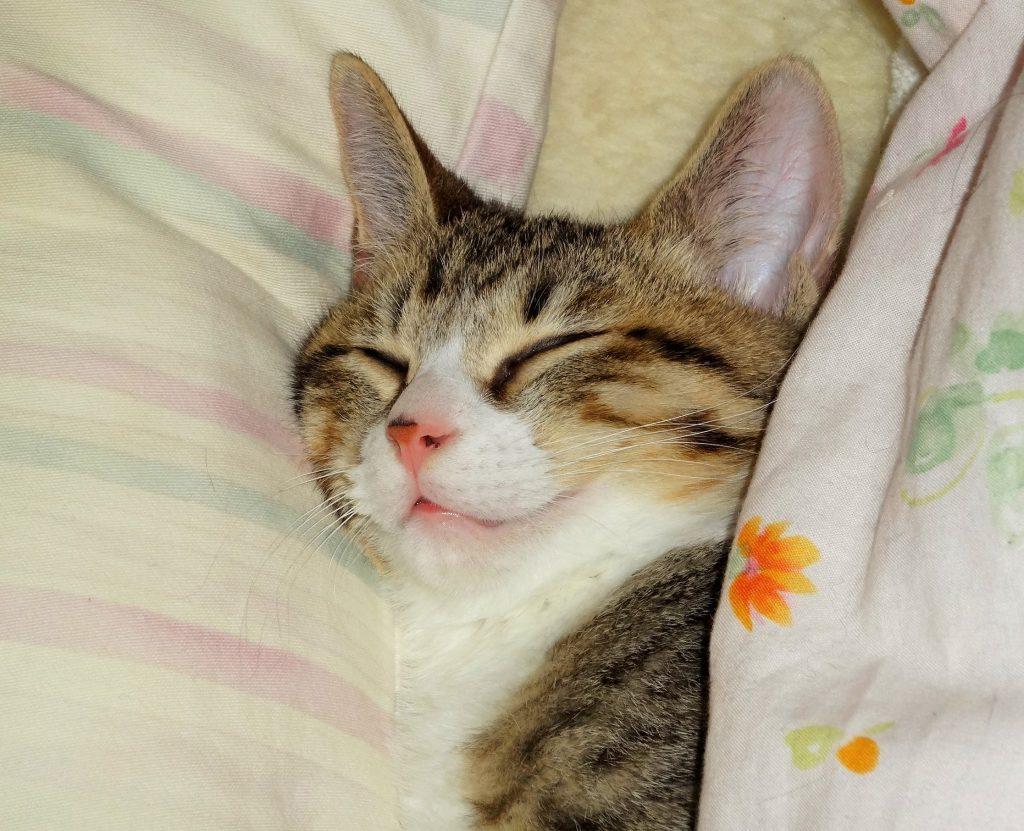 こねこ、枕して寝る