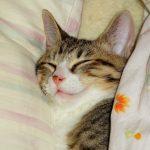 こねこ、風太 枕して寝る