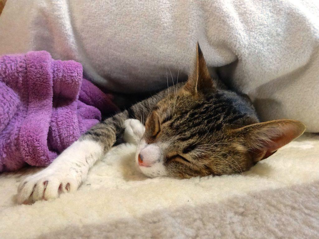 ねこ、布団で寝る