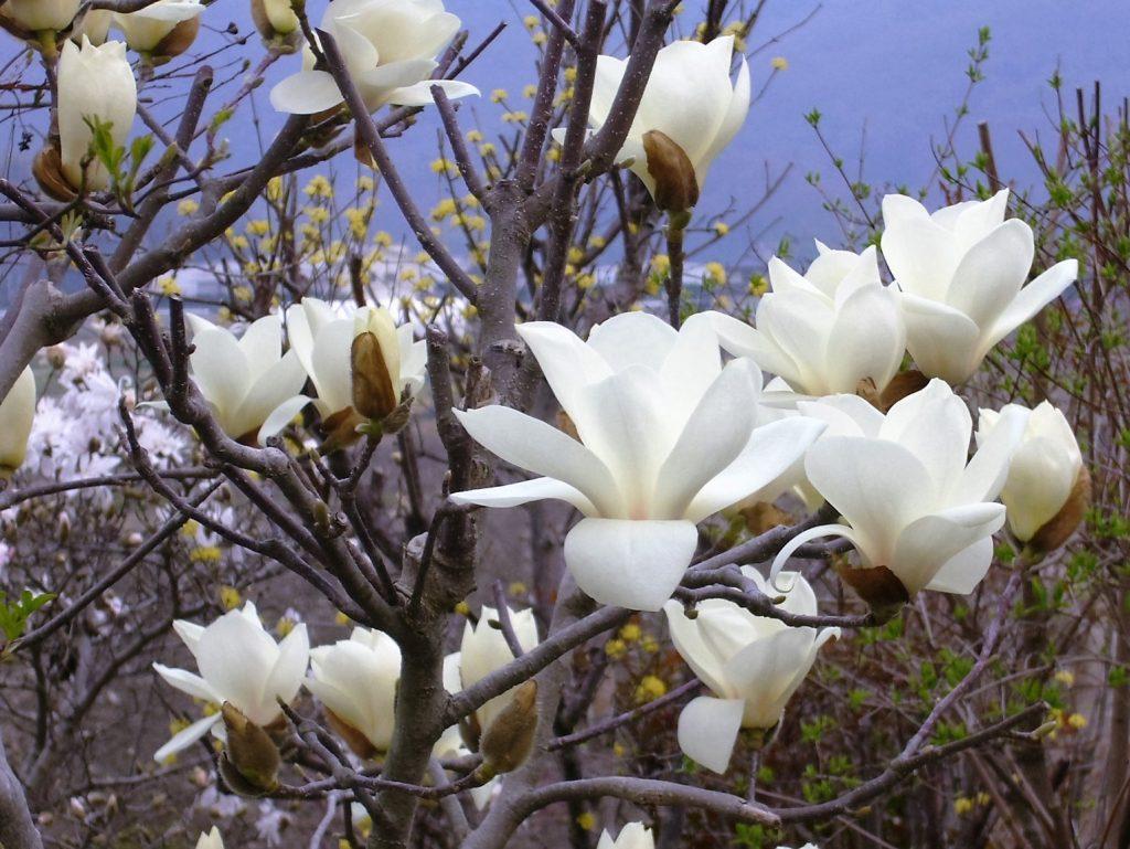 白木蓮。大きな白い鳥が、たくさん木にとまっているみたいです。