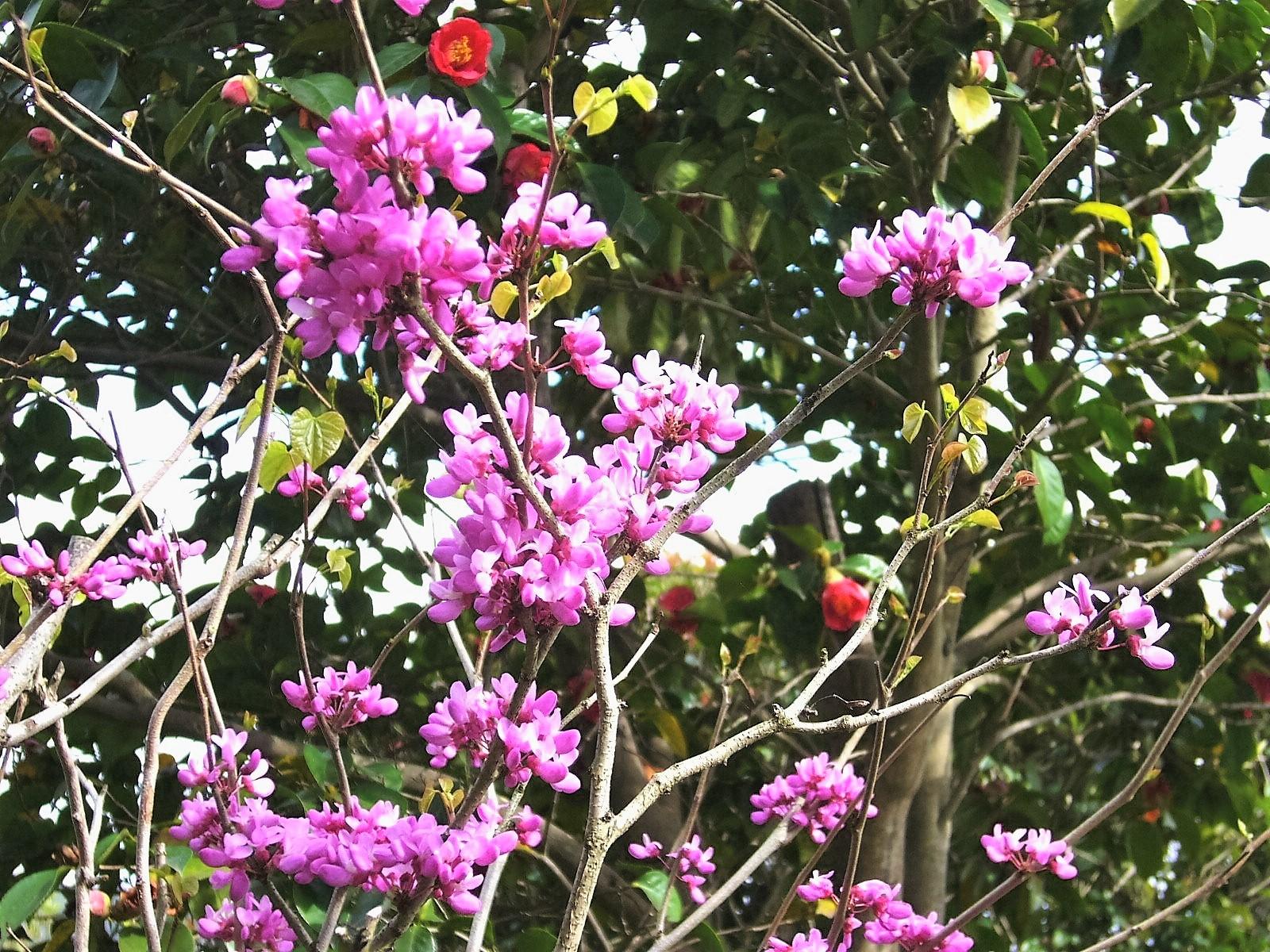 紫式部と藪椿