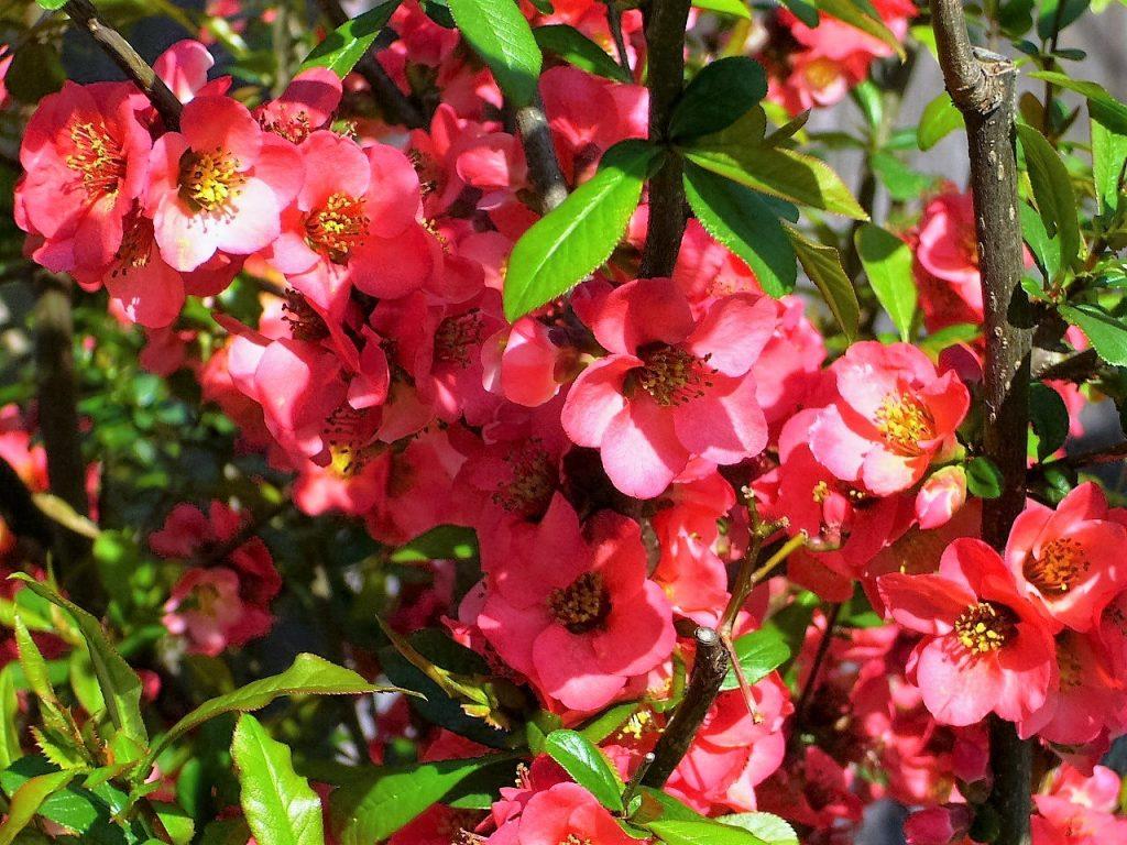 ぼけ、という木のお花です。
