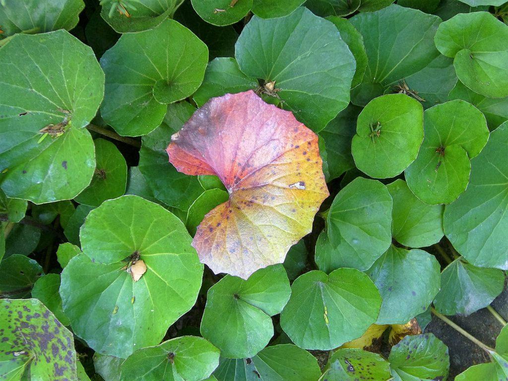 つわぶきの紅葉