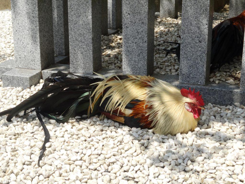 石上神宮、鶏お昼寝