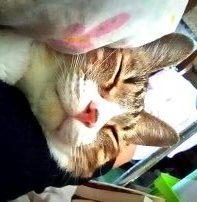ねこ、風太 腕枕