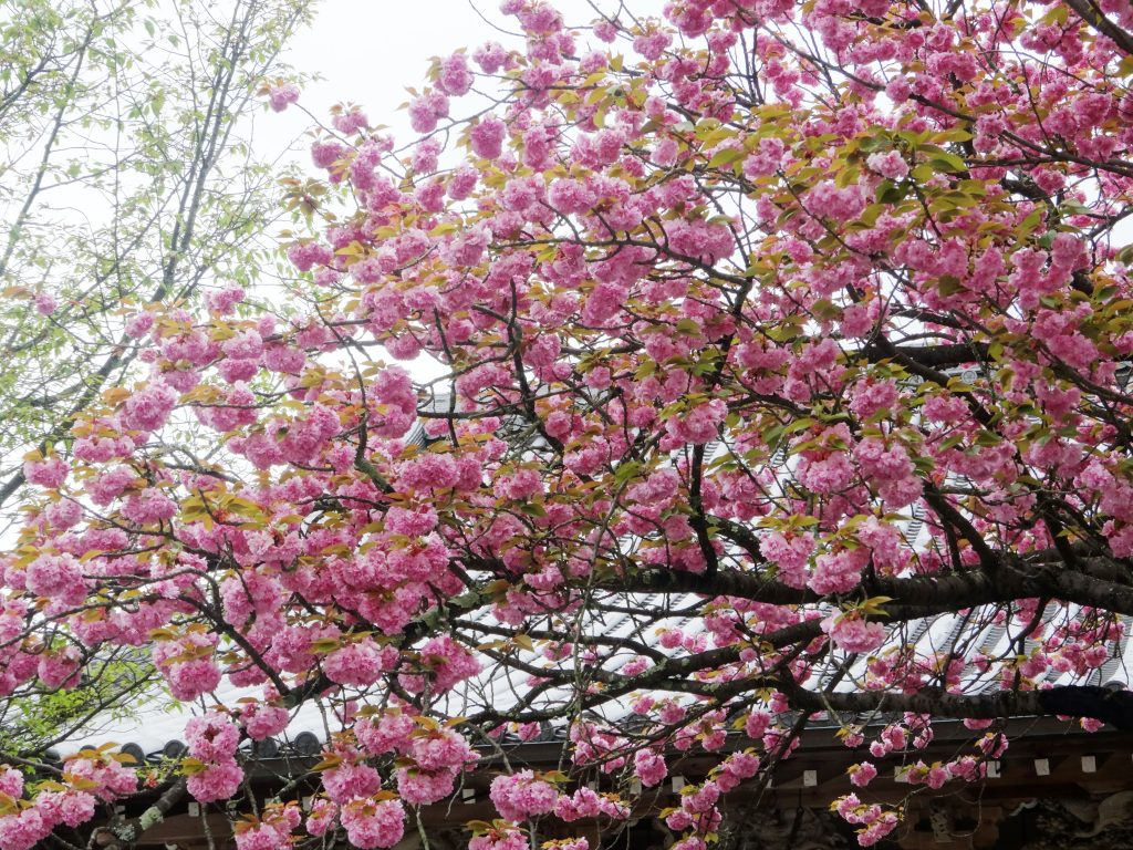 吉野 八重桜満開