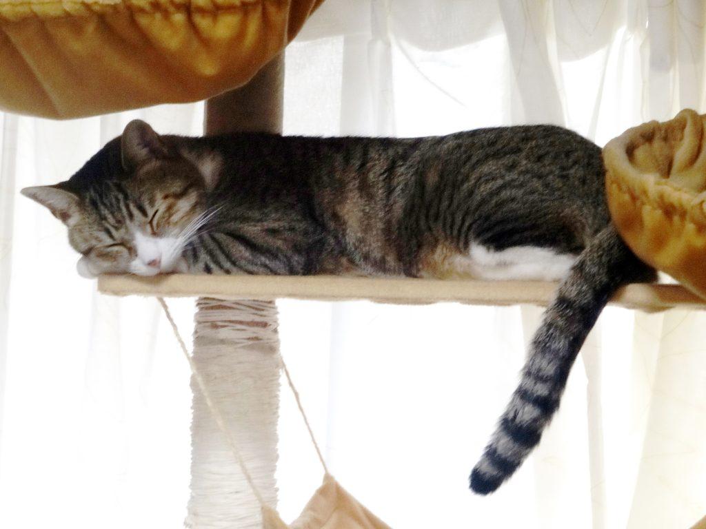 ねこ、風太 居眠り