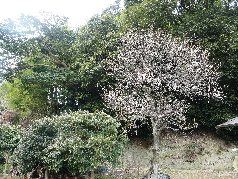 我が家の梅の老木