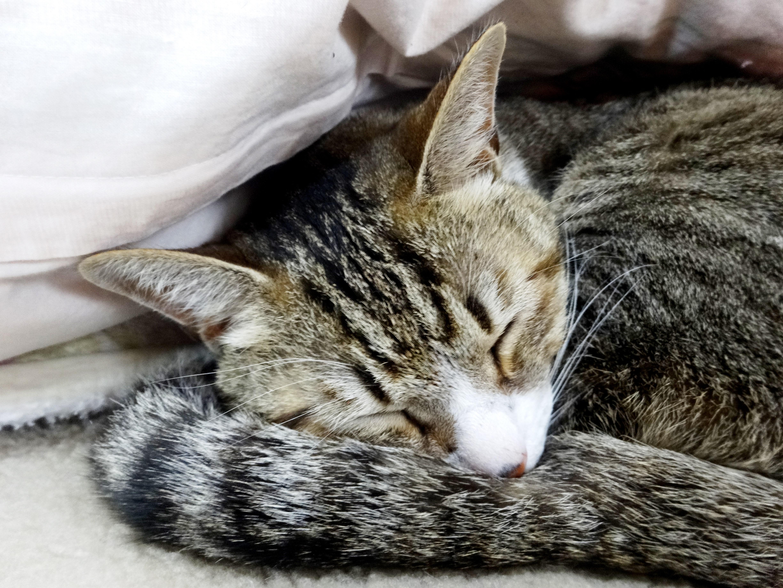 ねこ、風太 寝る