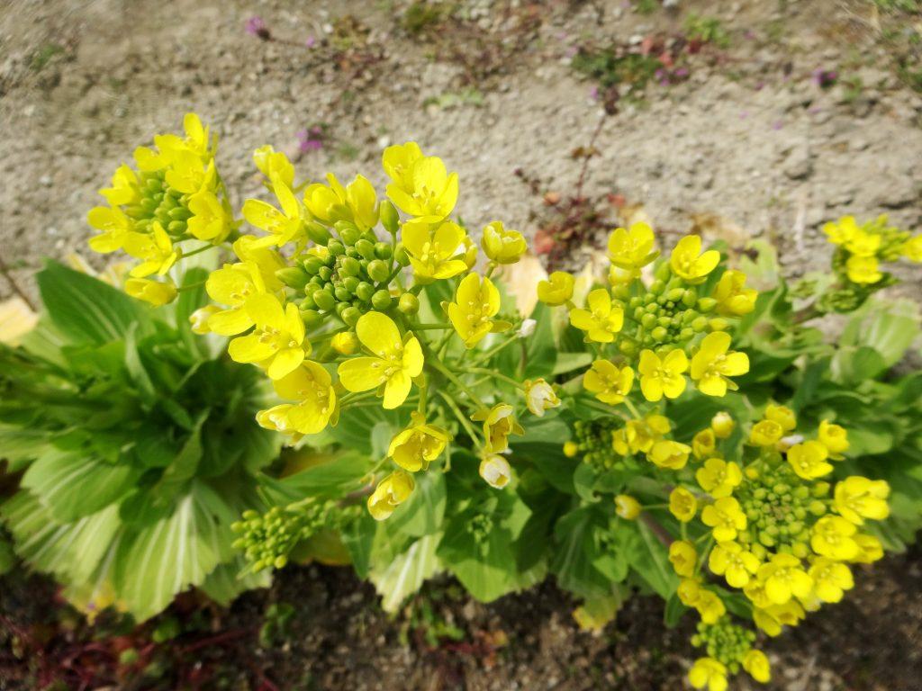畑の菜の花