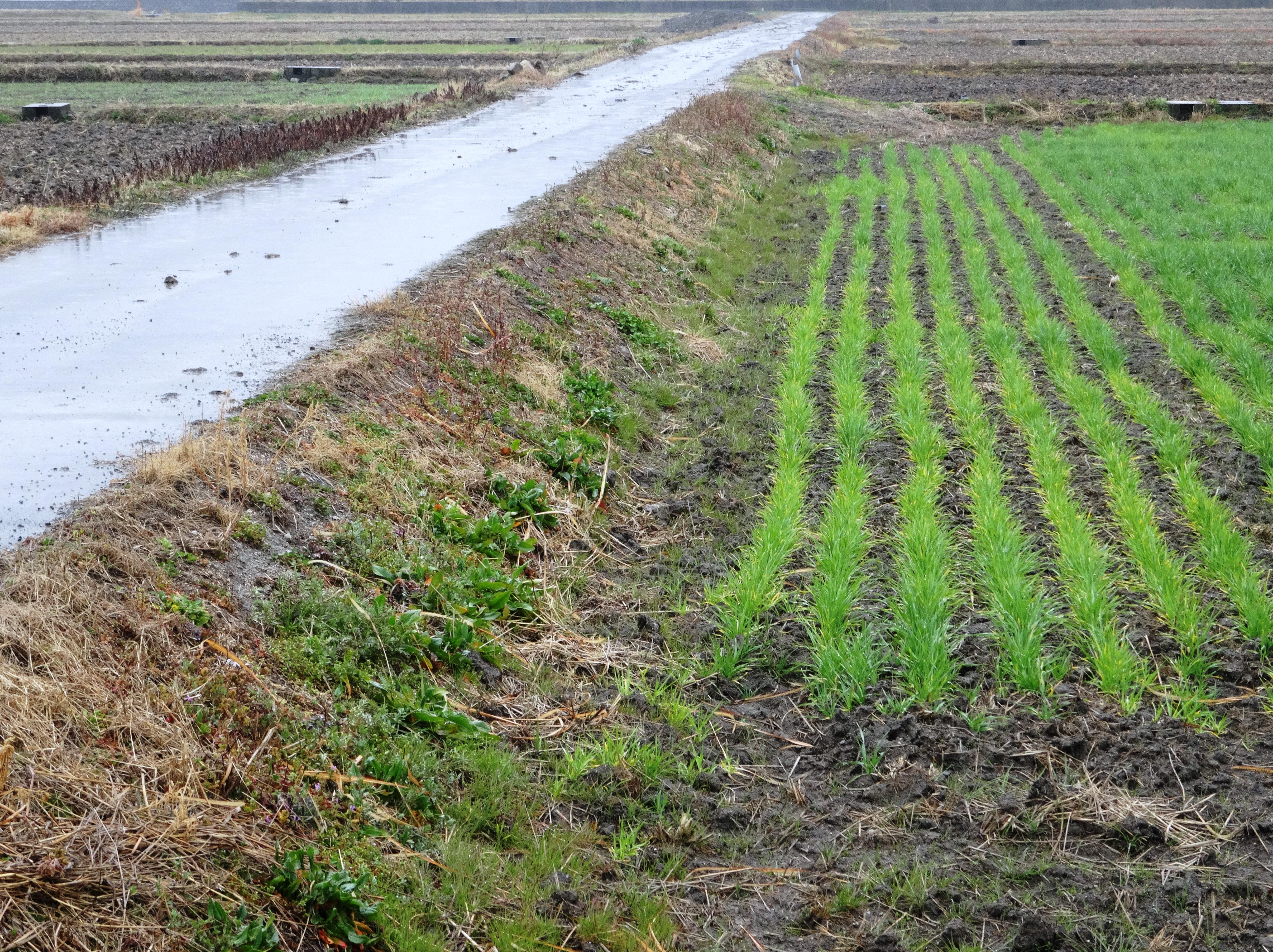 春の雨 農道と麦