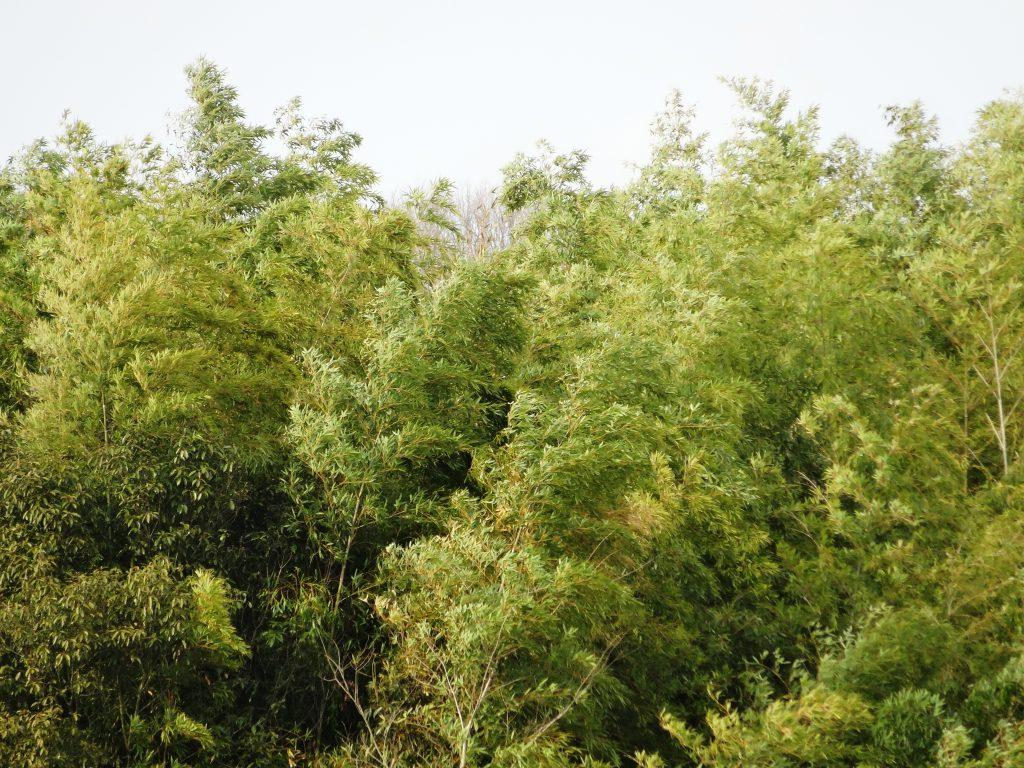 竹藪と強風