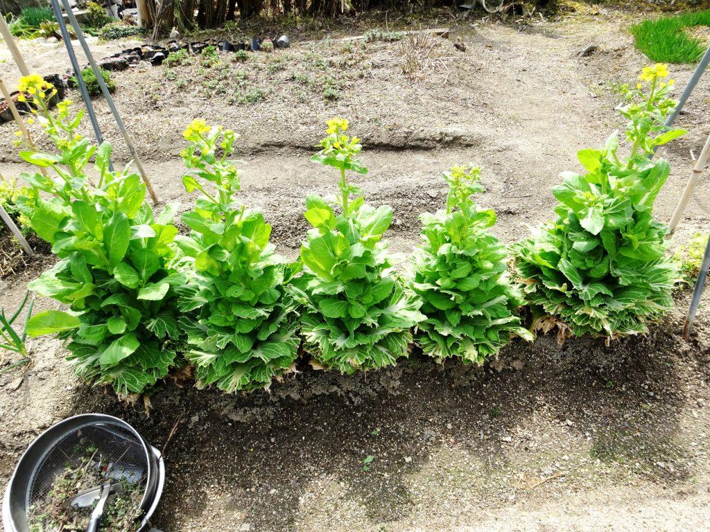 菜の花 整列