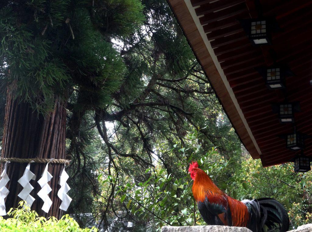 石上神宮 鶏
