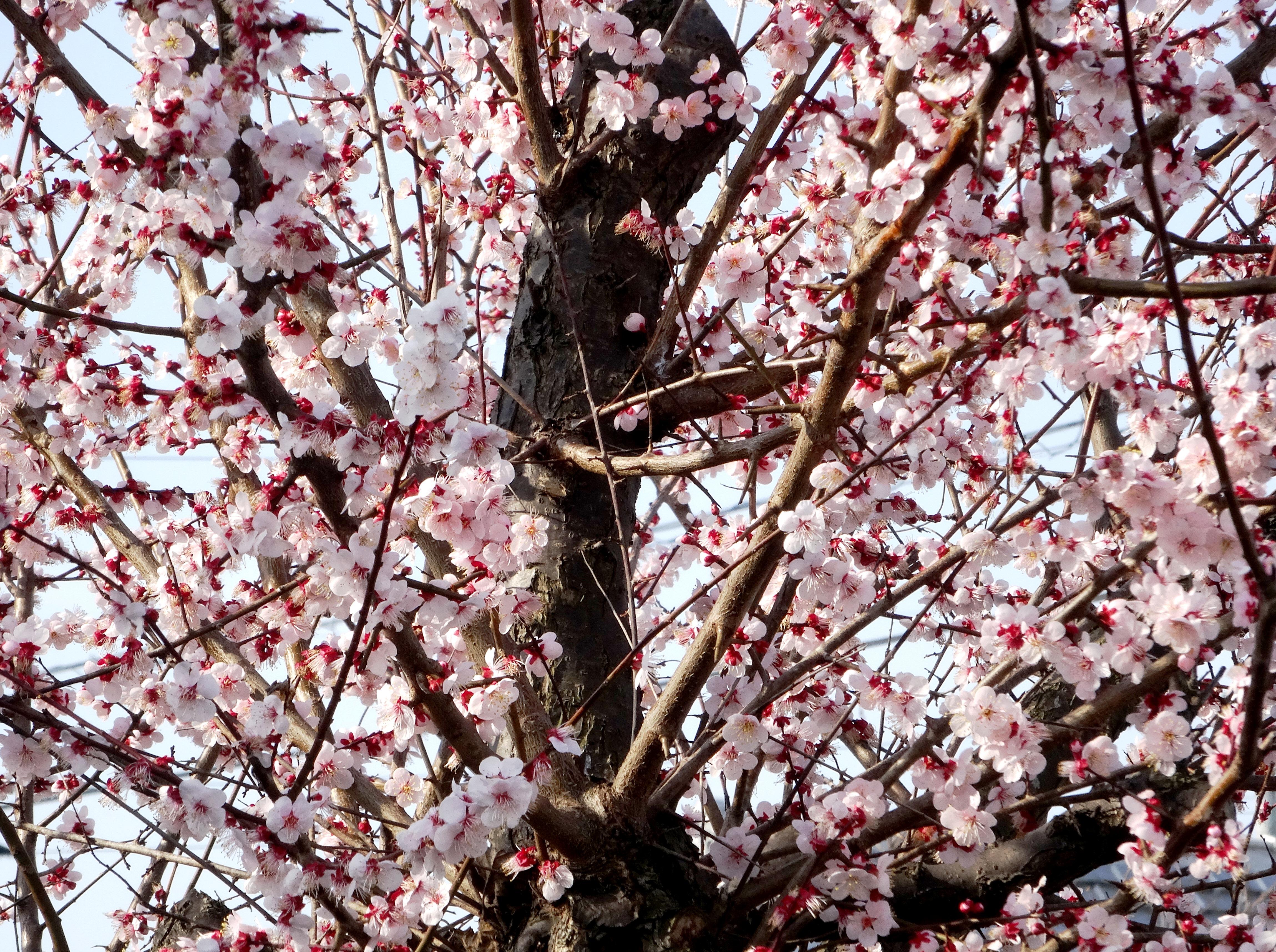 出勤途中で見つけた梅の花満開