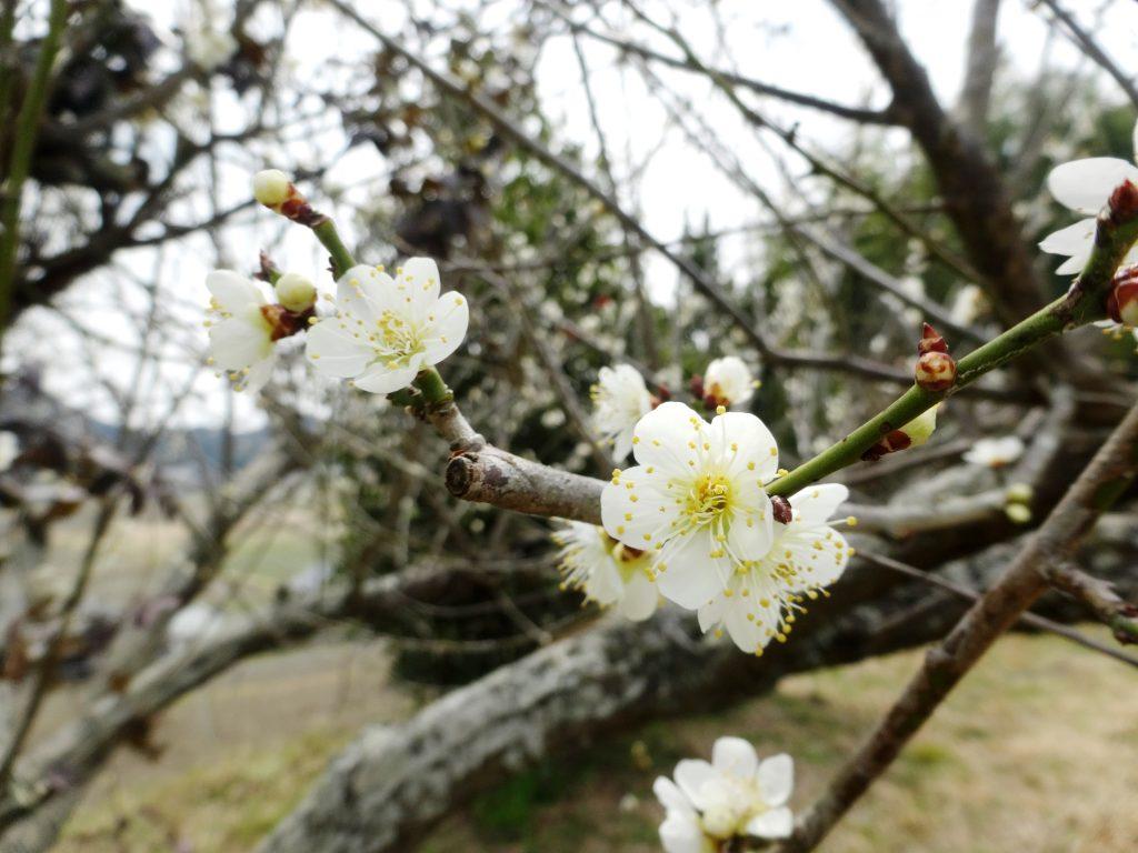 小さな梅の花