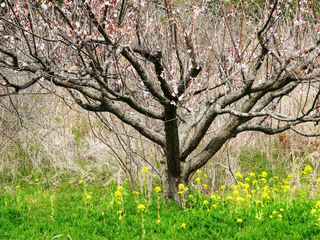 梅の花の終わりと菜の花