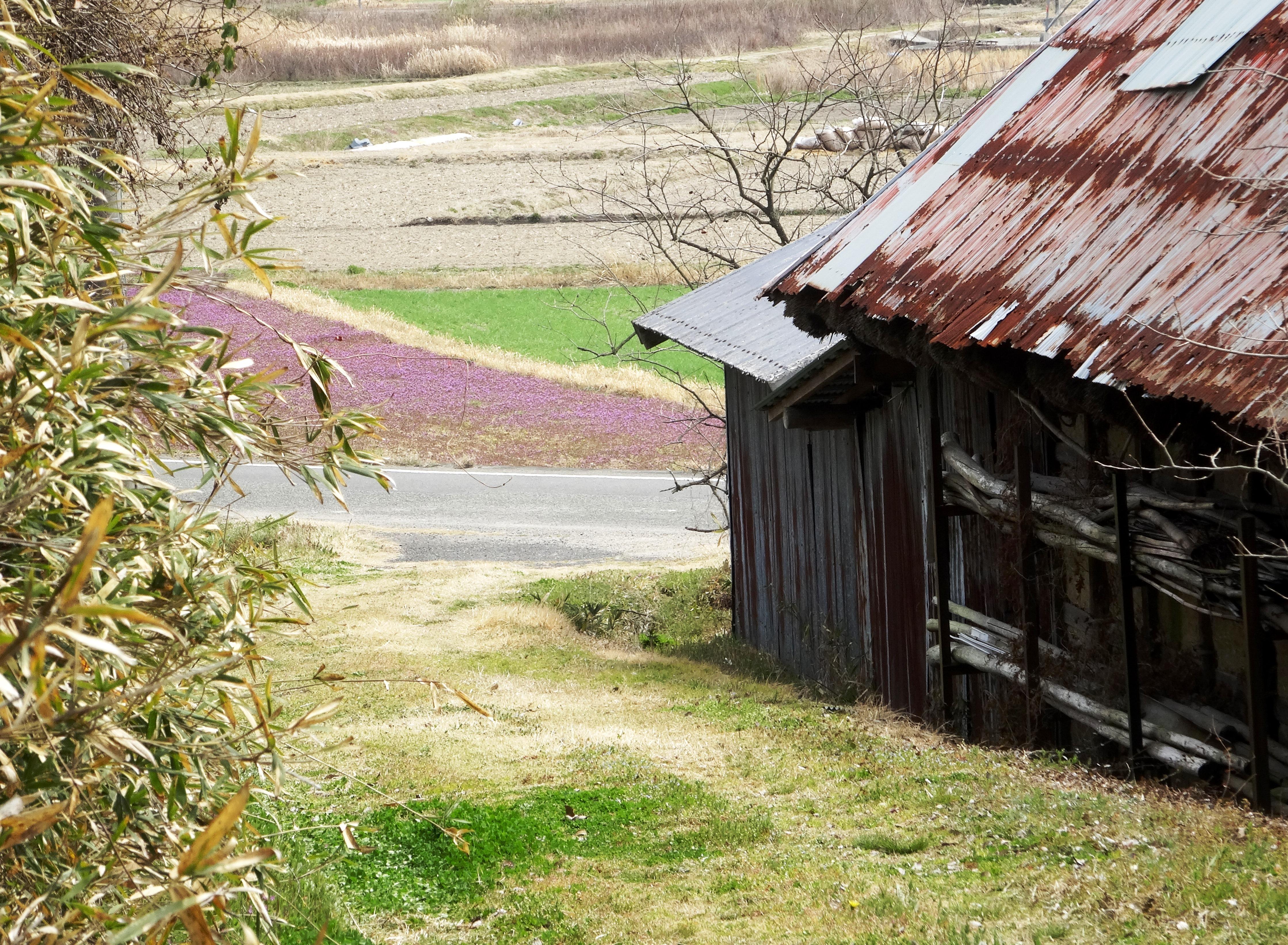 春の田舎道 ホトケノザ群生