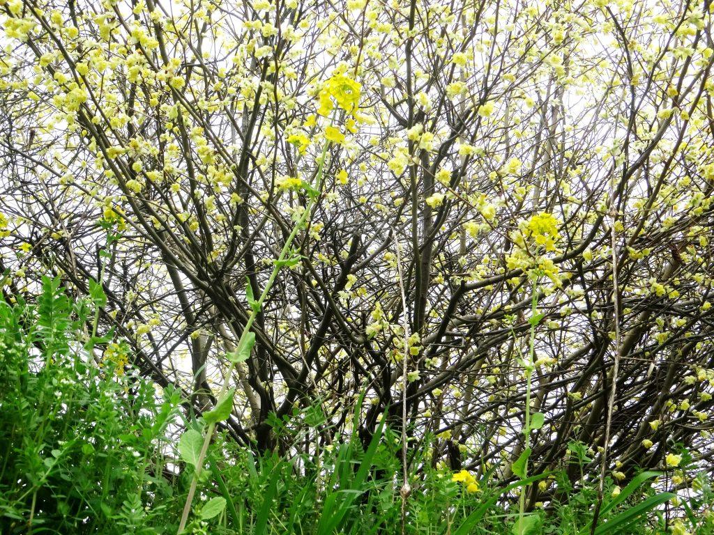 ヒュウガミズキ(日向水木)と菜の花