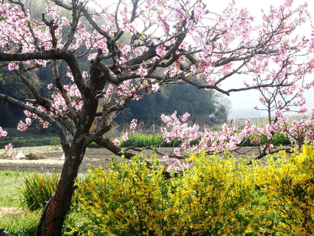 桃の花とレンギョウ