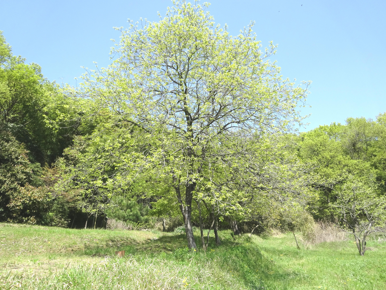 柿の木の芽吹き