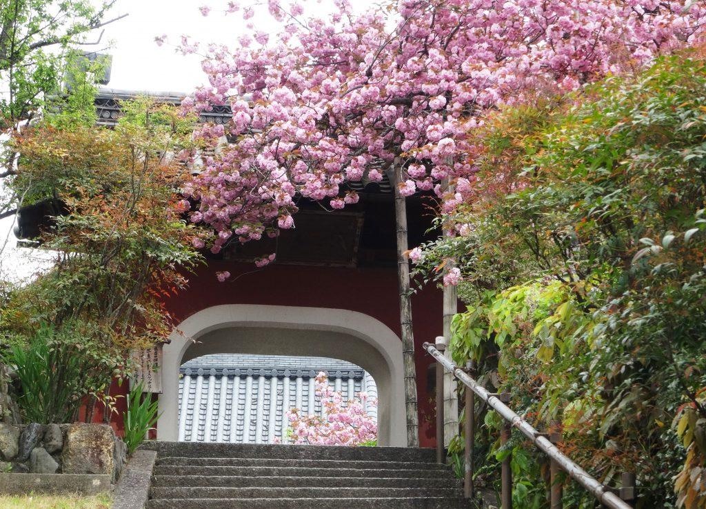 石峯寺(せきほうじ)八重桜満開