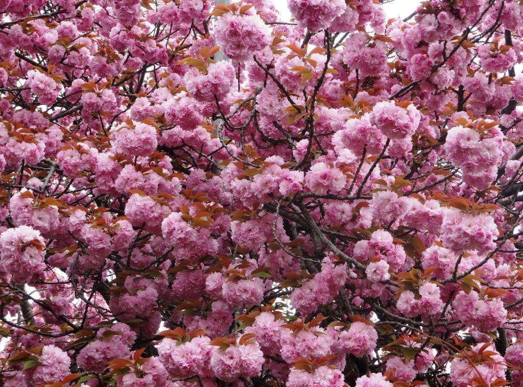 石峯寺八重桜