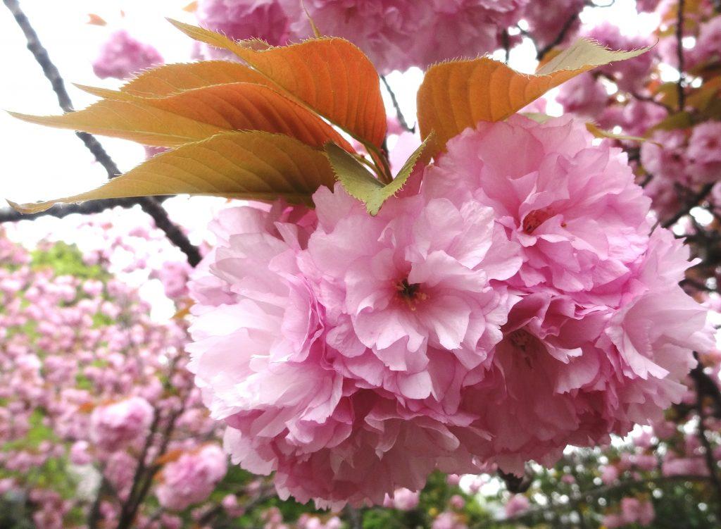 石峯寺まん丸八重桜