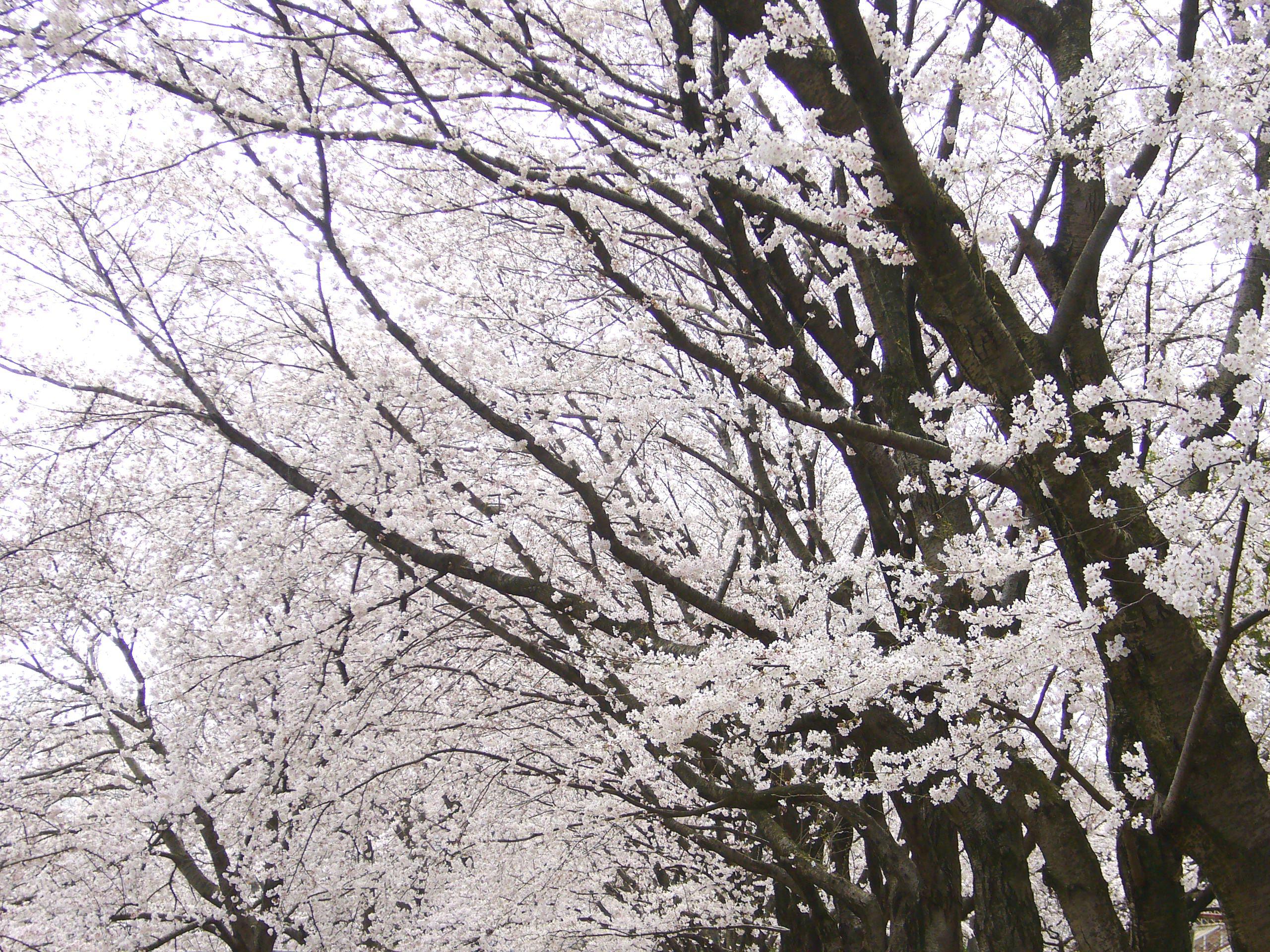 夕暮れ 桜