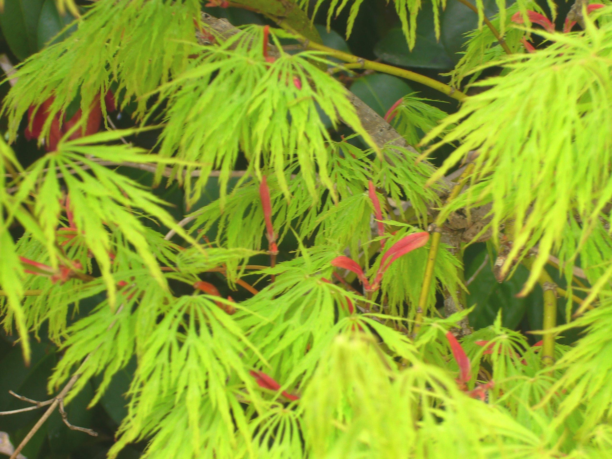 新緑紅葉と種