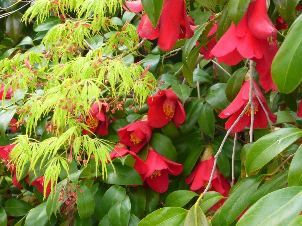 紅葉の花と椿
