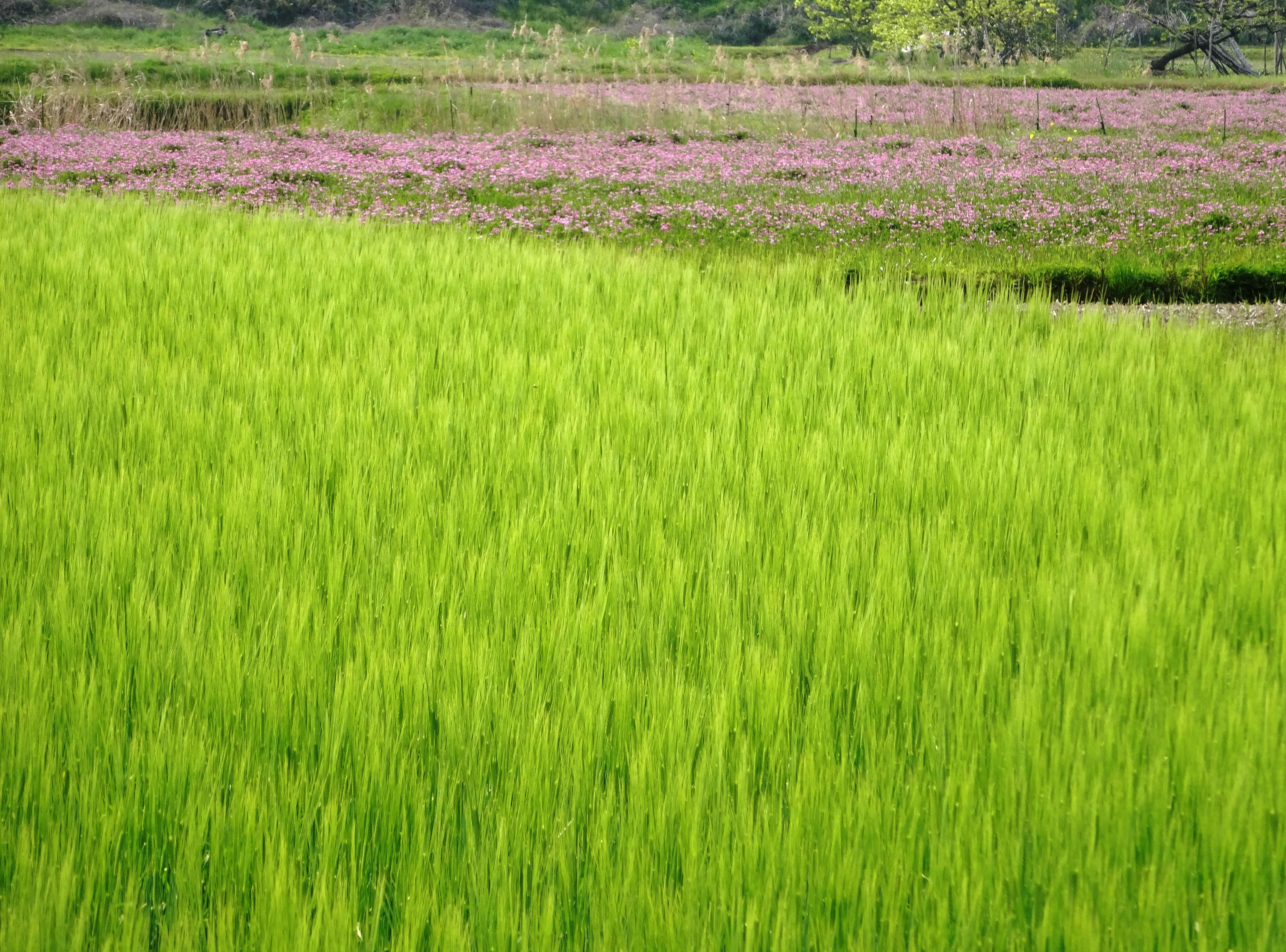 麦畑とれんげ畑