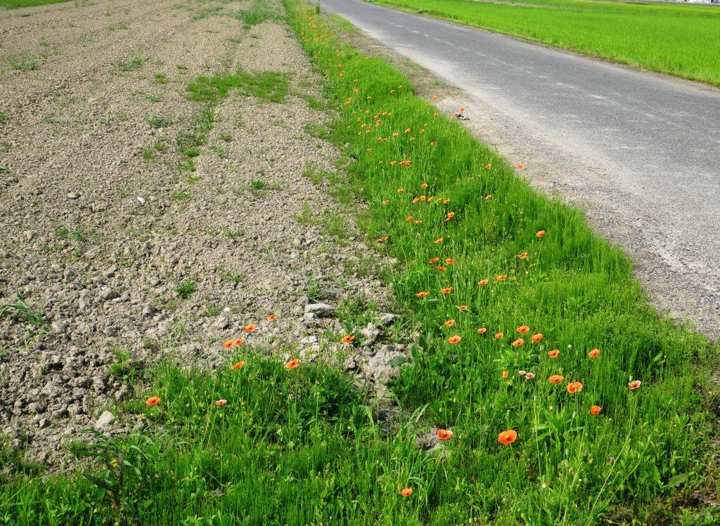 ポピーの咲く農道