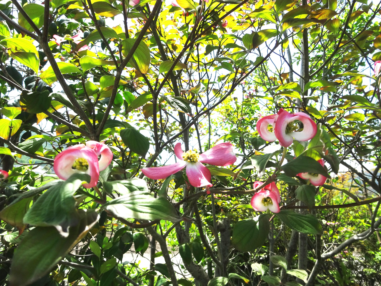 花水木(ハナミズキ)