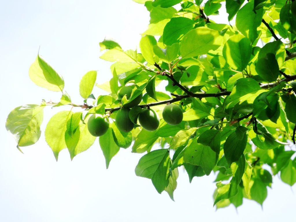 梅の実膨らむ