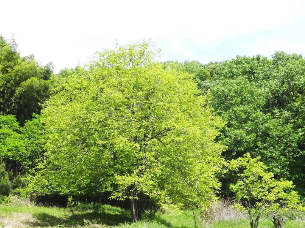 柿の木新緑