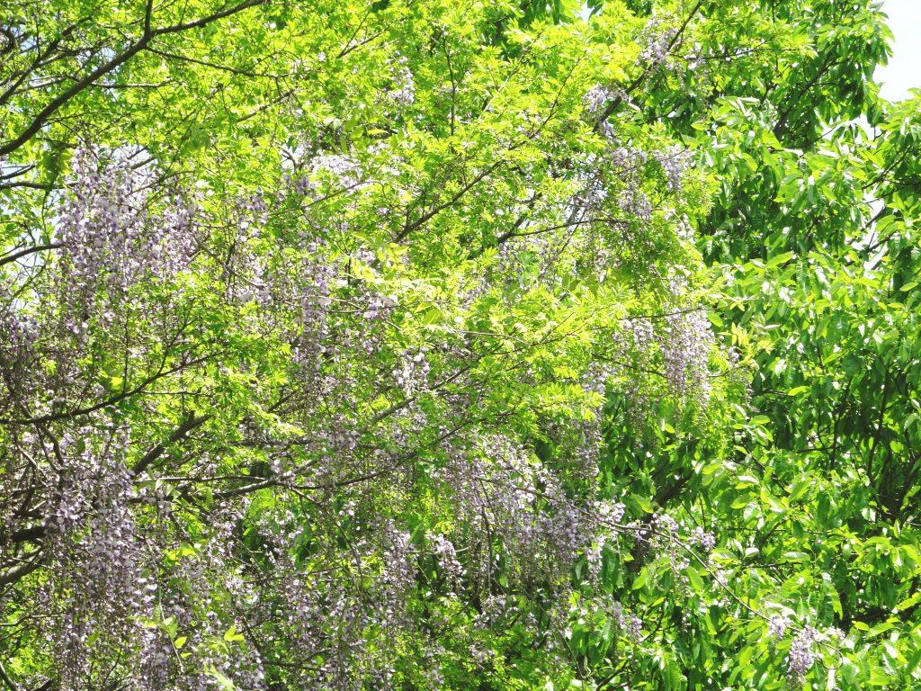 山に咲く 藤