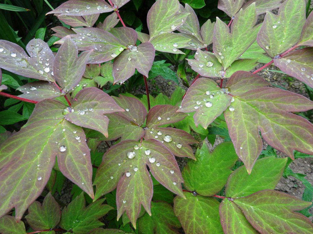 牡丹の葉と水滴