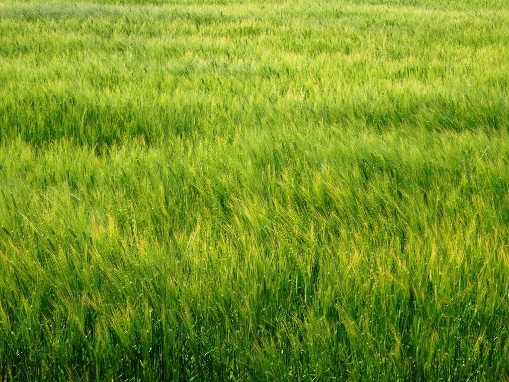 色づきはじめた麦