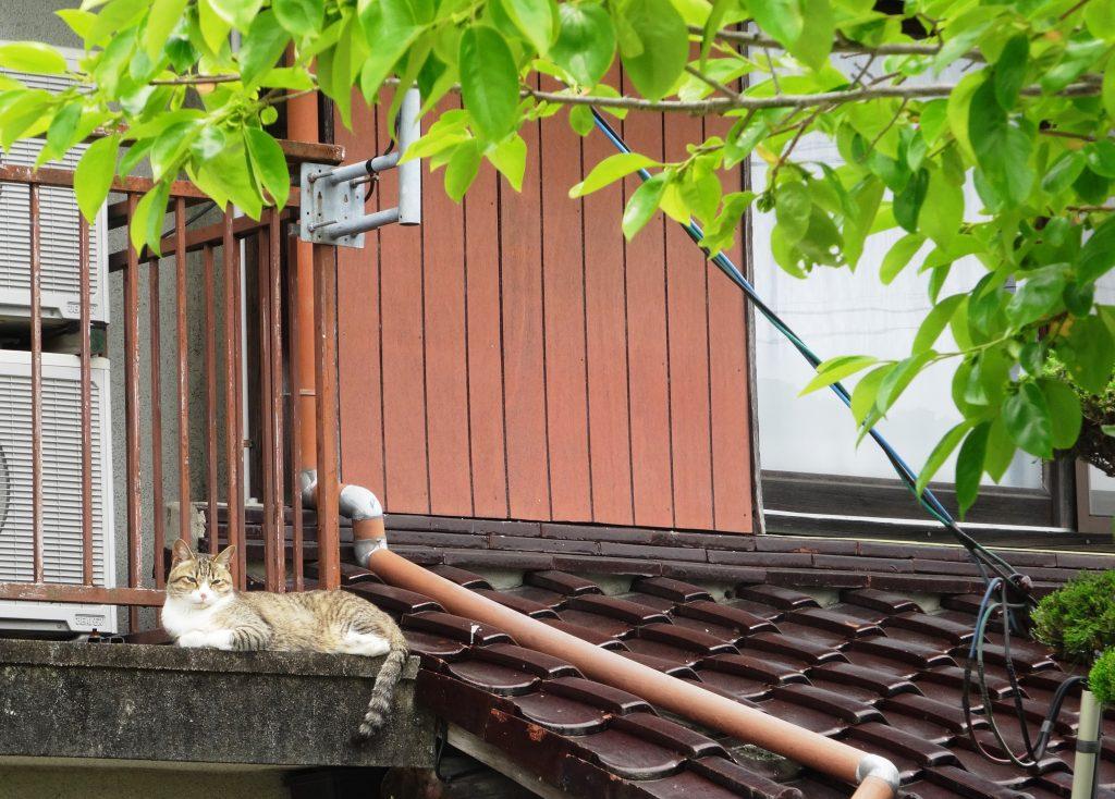 ねこ、風太 屋根の上