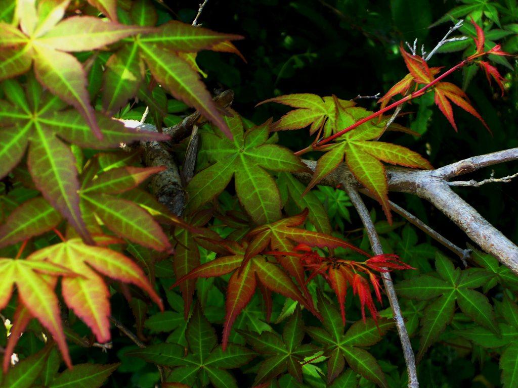 紅葉の若葉