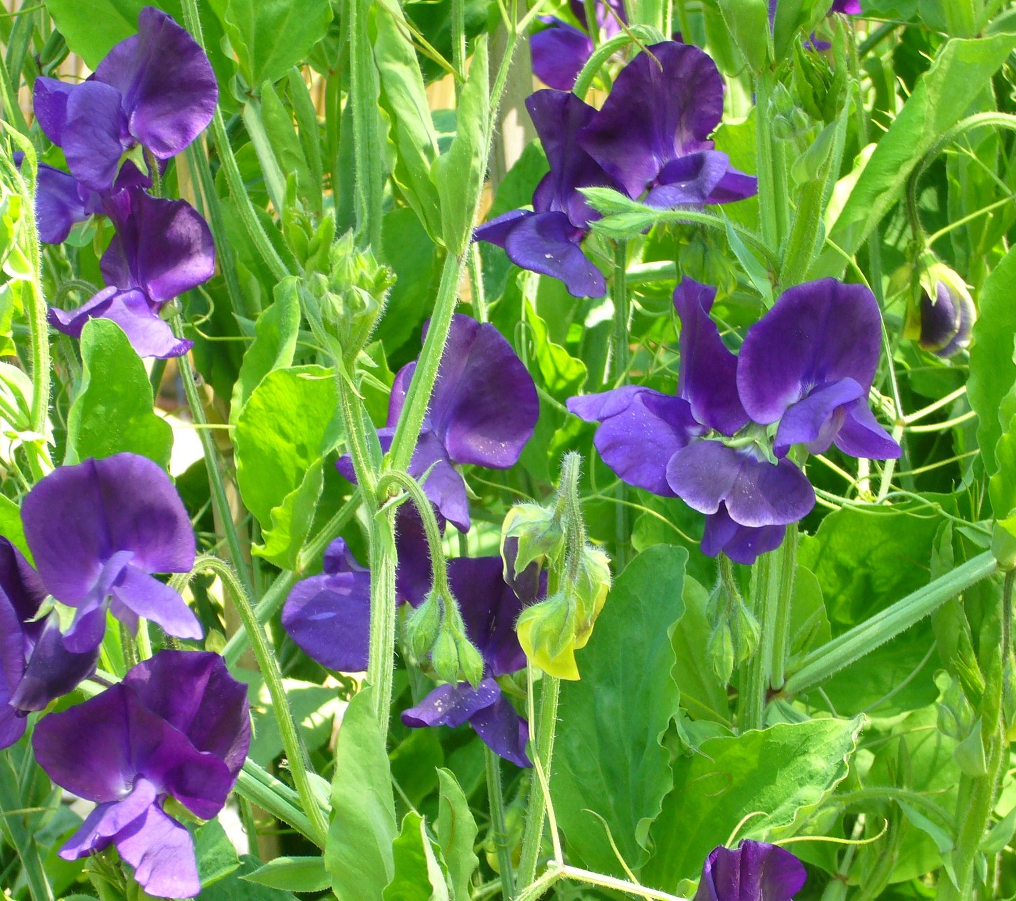 エンドウ豆の花