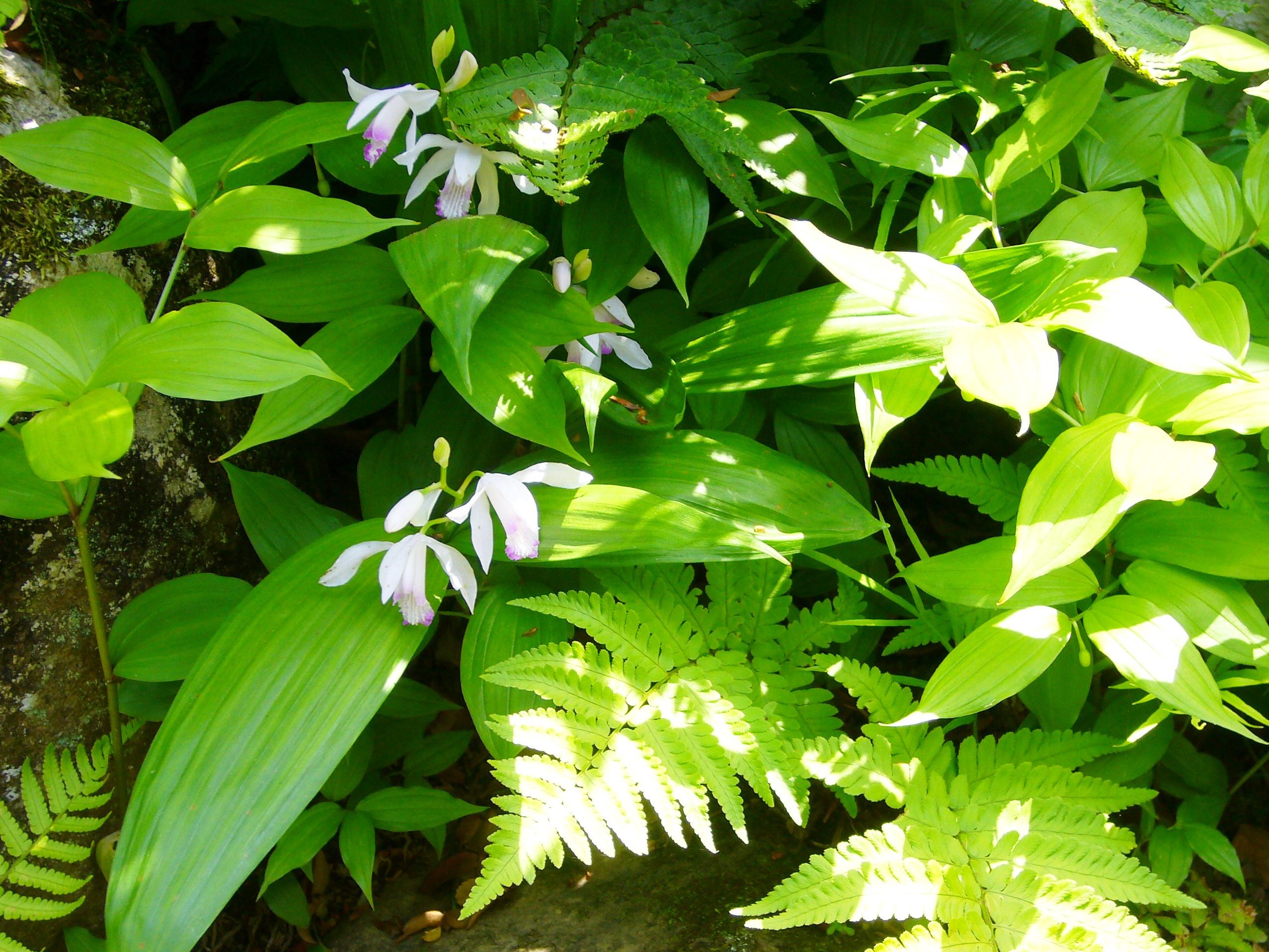 紫蘭(白花)